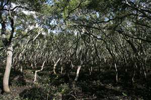 mangrove forest near Wynnum, 2009, photographer – Cathy Keys